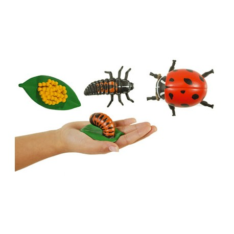 Models of the life cycle of a Ladybird